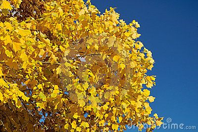 Fogli e cielo blu di colore giallo