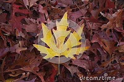 Fogli rossi e gialli di autunno vibrante