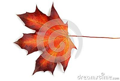 Foglia di acero canadese in autunno fotografie stock for Foglia acero