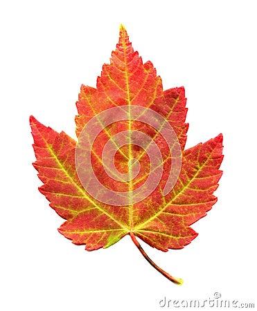 Foglia di acero nel fogliame di autunno fotografie stock for Foglia acero