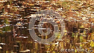 Foglie di autunno di galleggiamento con le riflessioni stock footage