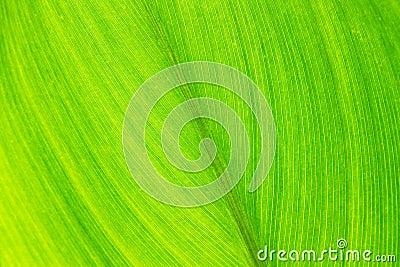 Foglio verde con le vene, fine in su