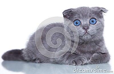Fold kitten
