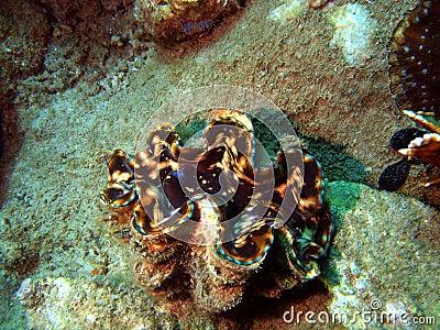 Folding shellfish
