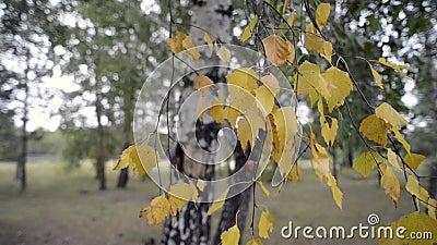 Folha da árvore de vidoeiro vídeos de arquivo