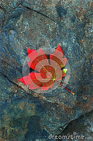 Folha de plátano vermelha do outono na rocha