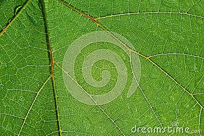 Folha transparente verde
