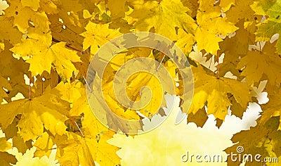 Folhas de outono douradas
