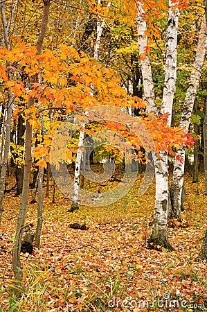 Folhas de plátano da cor e árvores de vidoeiro