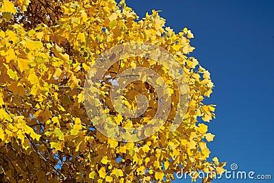 Folhas do amarelo e céu azul