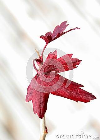 Folhas do vermelho no fundo branco