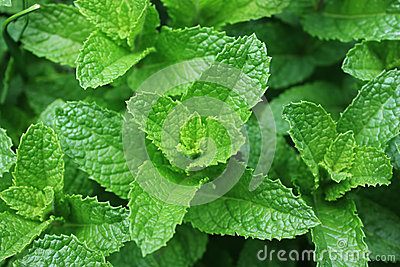 Folhas frescas do Spearmint