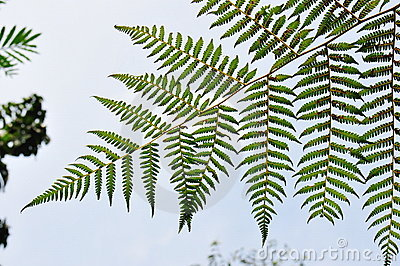 Folhas verdes do Fern