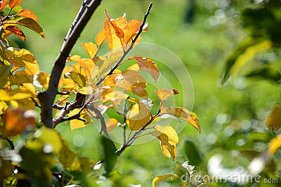 Foliage of Apple Tree in the Fall