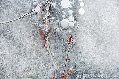 Foliage covered with ice
