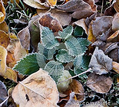Foliage in hoarfrost