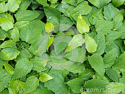 Foliage with raindrops background