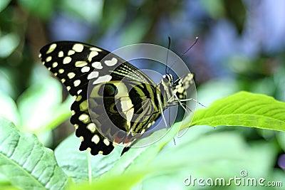 Follaje de la mariposa