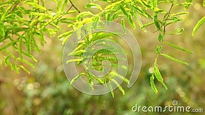 Follaje verde vibrante del árbol de tamarindo almacen de video