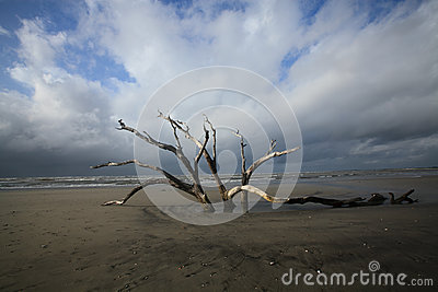 Folly Beach Charleston SC Dead Tree Resilience