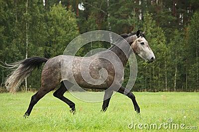 fonctionnement gris heureux de cheval gratuit en t photo stock image 62553714