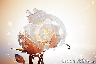 Fond romantique avec trois roses blanches
