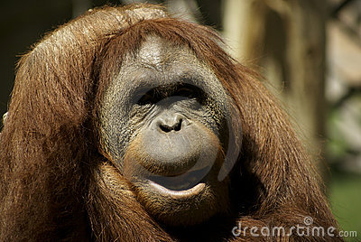 Fondness Orangutan