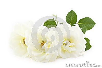 Fondo blanco del blanco de las rosas