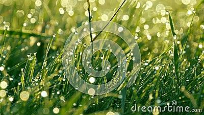 Fondo borroso de la hierba verde con los descensos del agua y cierre del rocío de la mañana encima de la visión almacen de video