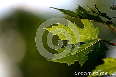 Fondo con las hojas de arce verdes