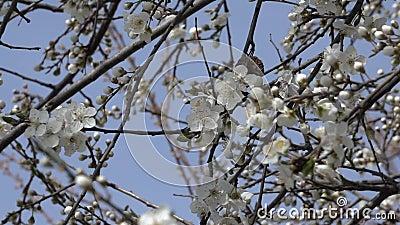 Fondo de la primavera de las ramas de un ?rbol florecientes con las flores de la primavera Enfoque adentro C?mara lenta almacen de metraje de vídeo