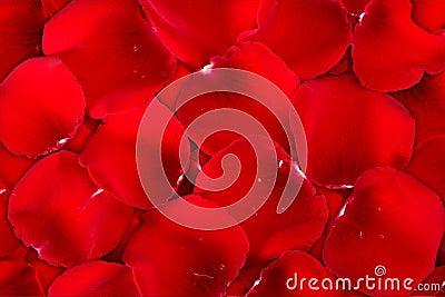 Fondo rojo oscuro de pétalos color de rosa