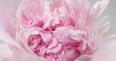 Fondo rosado hermoso de la peon?a Flor floreciente abierta, lapso de tiempo, primer de la peonía Contexto de la boda, el día de t metrajes