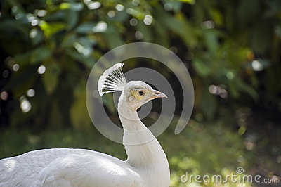Fontainebleau - White peacock