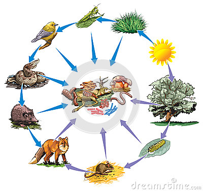 Vector illustration of forest food chain.