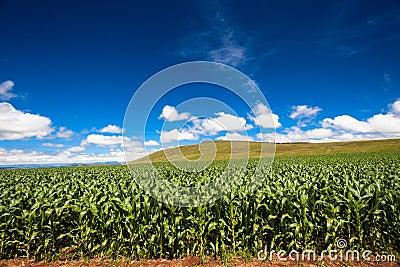 Food Maize Crop Mountains