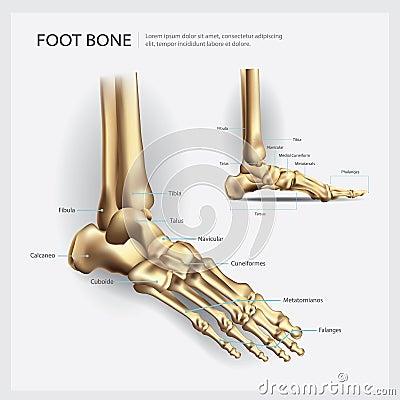 Foot Bone Anatomy Cartoon Vector | CartoonDealer.com #103119565