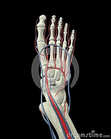 Foot Bones, Arteries and Veins