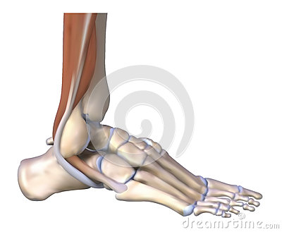 The foot bones and tendons
