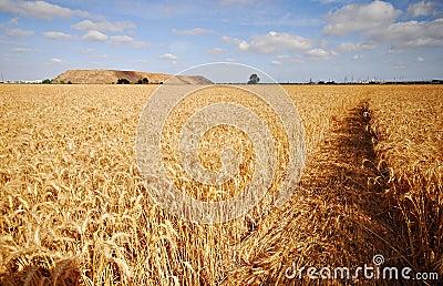 A foot path through a wheat fi