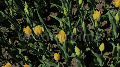Footage of beautiful colorful yellow tulips flowers bloom in spring garden.Decorative tulip flower blossom in springtime. Beauty of nature stock footage