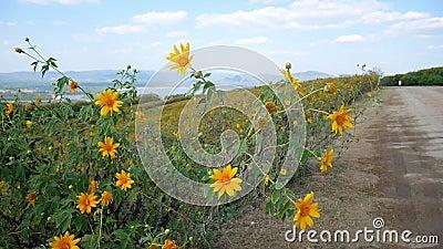 Footage Field Gelb blühende mexikanische Sonnenblumenweeds schwingen in den Windschauberg am blauen Himmel in der Provinz Lampang stock video