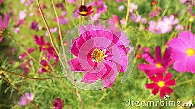 Footage Flying honey beb in Field Garden park roze bloesem Cosmos flowerCosmos Bipinnatus Biologische wilde dieren Insect stock video