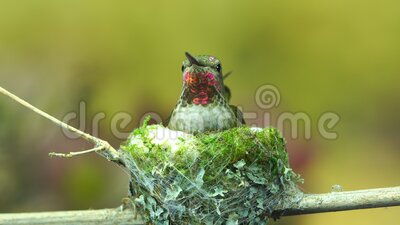 Hummingbird arrives and inserts moss to the exterior of her nest. A footage of a hummingbird arrives and inserts moss to the exterior of her nest stock video