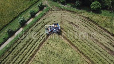Footage in Rice farm on harvesting season by farmer with combine harvesters. And tractor on Rice field plantation pattern. photo by drone from bird eye view in stock video