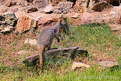 Footed желтый цвет xanthopus wallaby утеса petrogale