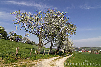 Footpath with cherry trees in Hagen, Germany