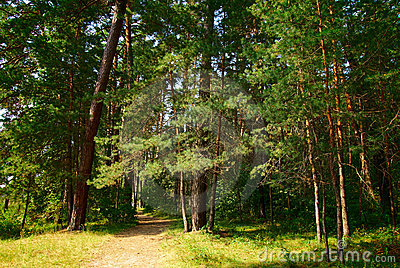 Footpath through a green forest with old trees