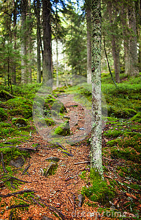 Footpath through a pine forest
