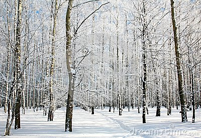 Footpath in sunny winter birch forest